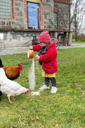Hönsmatning hör till förmiddagsrutinerna för dottern Marigel, 1,5 år. Tre tuppar och elva höns ingår i flocken i trädgården.