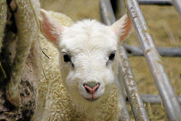 En två dagar gammal lammunge som spelar en viktig roll i Sveriges lammproduktion.