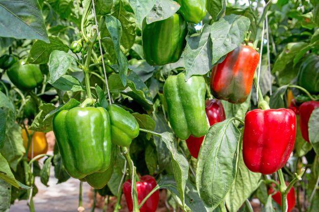 Omogna paprikor är gröna. När de mognar skiftar de färg och blir ännu nyttigare.