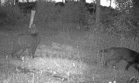 Ovanliga varghybrider fångade på bild