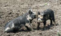 Afrikansk svinpest hotar Asien