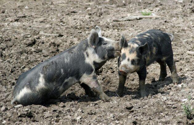 Oron är mycket stor för att den afrikanska svinpesten kommer att sprida sig i Asien.