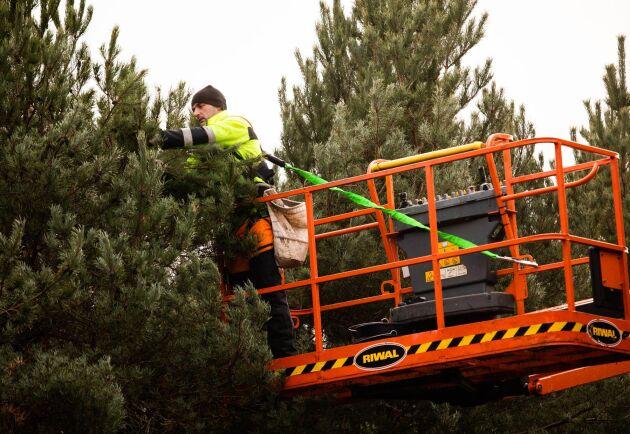 För att kunna plocka kottarna på hela trädet använder man mobila, självgående liftar.