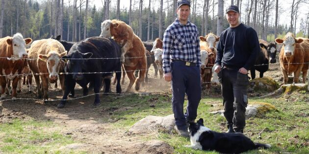 Korna förvandlar skogsmarken till betesmark