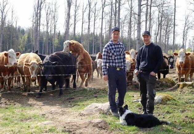 Bröderna Dennis och Pierre Andersson har köttkorna på hygget för att skynda på omvandlingen till bete. Hunden heter Bosse.