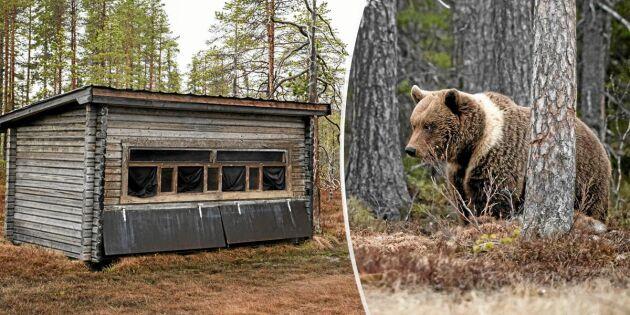 Svemester: Övernatta i björngömsle – så går det till