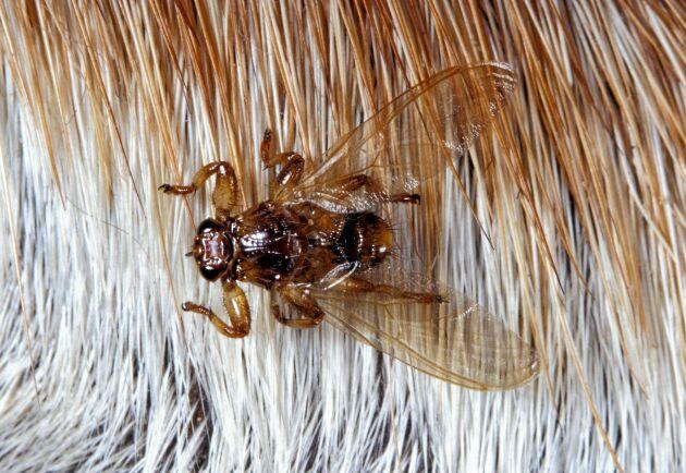 Det egentliga bytet är älgar och andra vilda djur, men det händer att älgflugan även angriper människor.