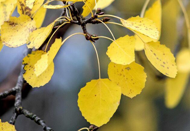 Darrar som asplöv. Aspens bladskaft är långa och tillplattade så att de lätt kommer ur balans och börjar darra i vinden. I det vetenskapliga namnet Populus tremula betyder tremula just darra.