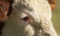 Halta tjurar fick avlivas –veterinär får varning