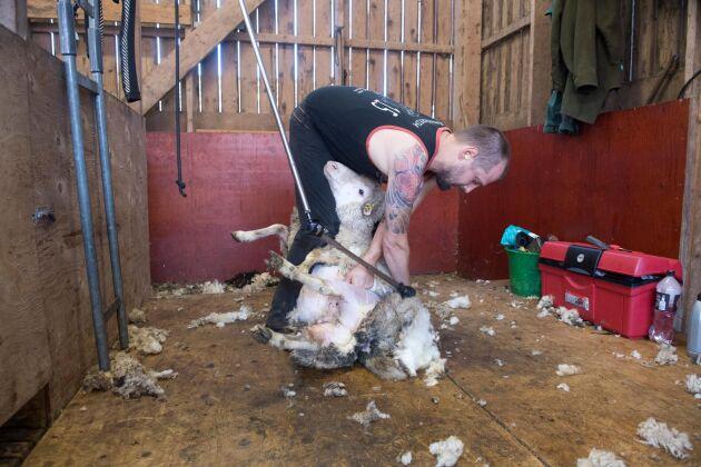 Magnus Wuolo är professionell fårklippare. 300 får är ett dagsverke.