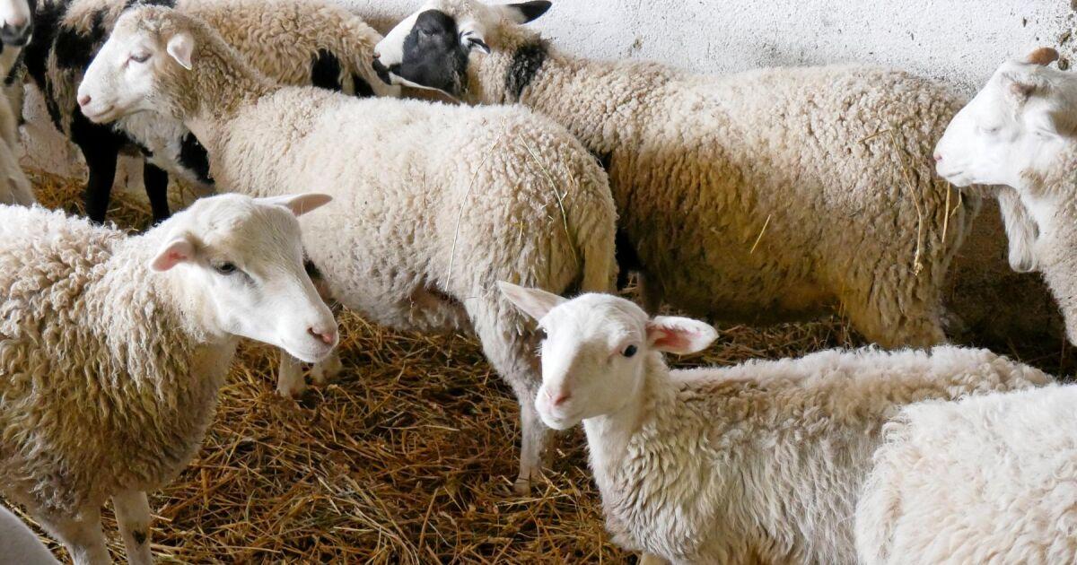 kraftfoder till får