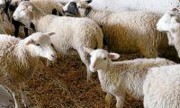 Kraftfoder till höstlamm - HK Scan tror på automater