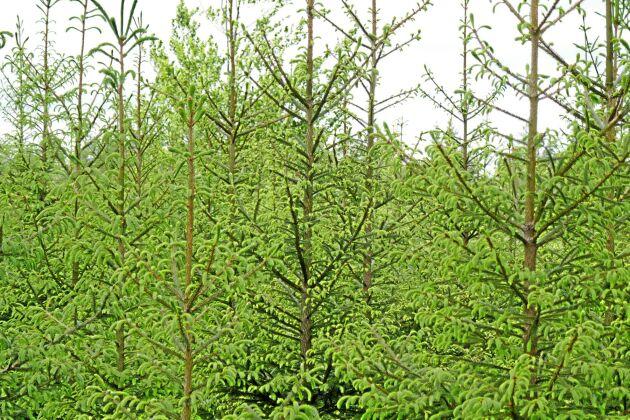 Några år gammal granplantering i Halland.