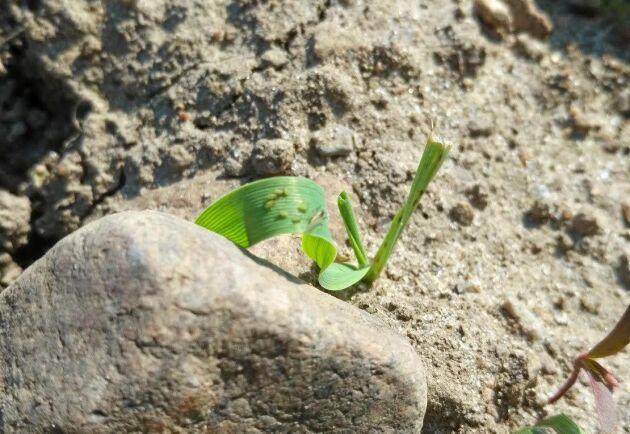 Bladlöss i fält kan lättast ses om man lägger sig på marken och tittar på plantorna i motljus. Lössen är inte jämnt fördelade så även om en del av fältet är fritt så kan bladlöss hittas i en annan del av fältet, enligt Växtskyddscentralen.