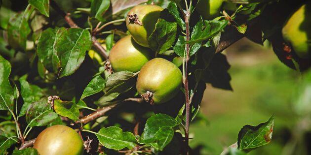 Äppelskörden blir mindre än normalt – frosten är boven