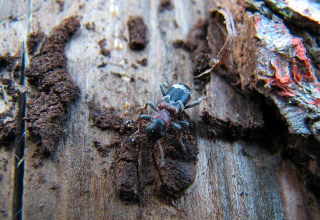 Myrbagge som jagar barkborrar på en död granstam.