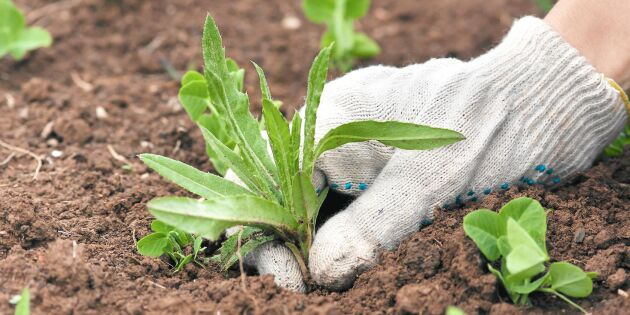 Rätt tid att knipsa 7 ogräs –för att svälta ut dem