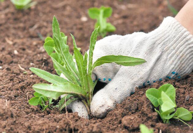 Spar tid genom att ta ogräset vid rätt tidpunkt.