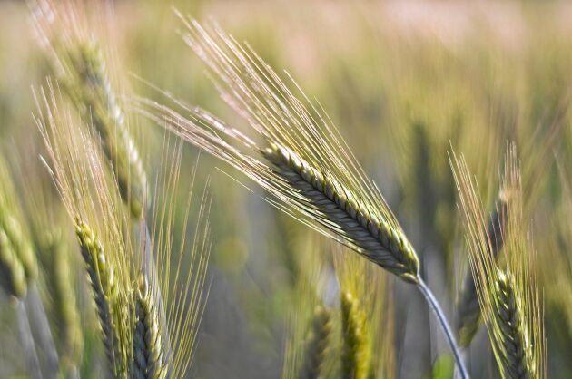 Exempel på län där flera av grödorna i genomsnitt gav mindre än hälften av vad som är normalt är Stockholms, Uppsala, Gotlands, Skåne och Västmanlands län.