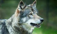Våghalsiga vargar bevis på att svensk rovdjurspolitik inte håller