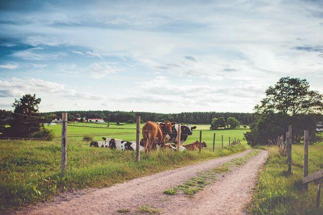 Korna håller landskapet öppet!
