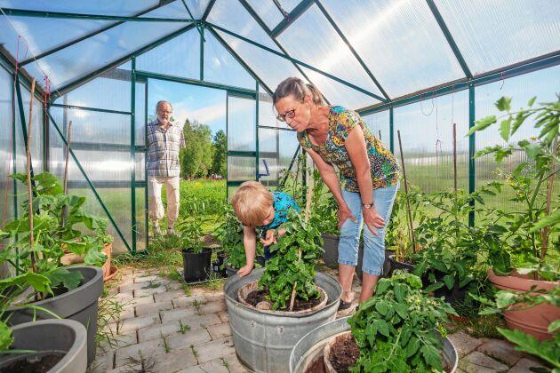 Hubert med farmor och farfar Christina och Ulf i växthuset, där de odlar tomater, gurka, chili och paprika för eget bruk.