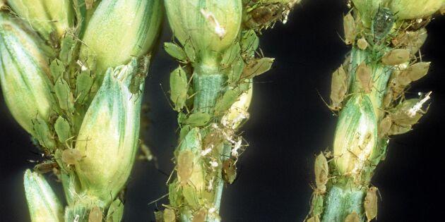 Forskarlarm: Klimatförändringarna ger fler och hungrigare insekter