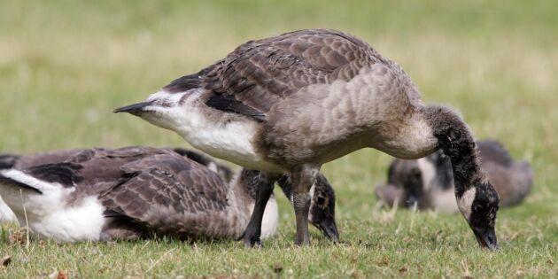 Efter gässinvasionen - 100 fåglar får skjutas