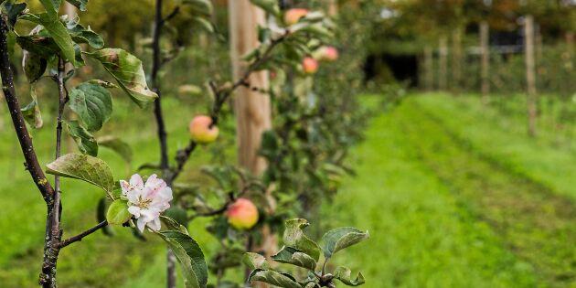 Därför blommar äppelträden och syrenerna igen – och så påverkas de