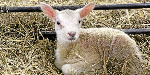 Torkan tvingar lammproducenter att sluta