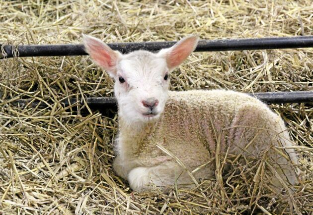 Torkan tvingar vissa fårbönder att minska på djurantalet, andra lägger ned lammproduktionen helt.