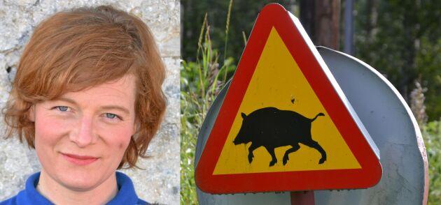Den svenska populationen av vildsvin är en kraftig riskfaktor om svinpesten skulle få fäste i vårt land, skriver djurhälsoveterinär Ebba Schwan i sin krönika.