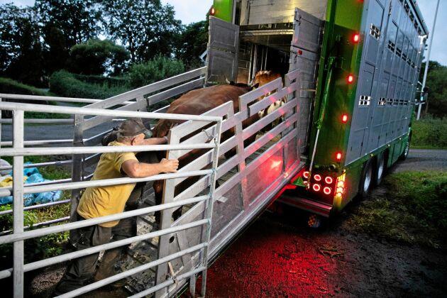 Hans Andersson puttar ombord sista kon på slaktbilen.
