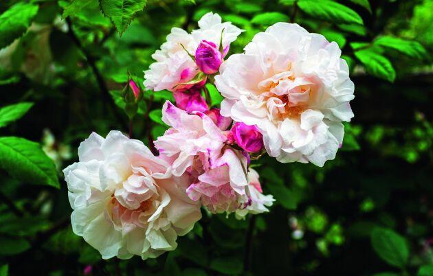 De ljuvliga myrradoftande blommorna på klätterrosen 'Splendens'.