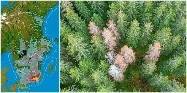 Dubbelt så stora barkborreskador i år