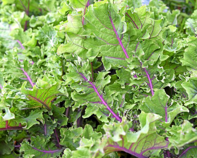 Grönkål 'Midnight Sun' har stora krusiga blad med violetta nerver och stjälkar. Används i sallad, tillagad som grönkål eller skördad som späda småblad. Även snygg i buketter. Så på friland när jorden reder sig eller inomhus från och med mars för tidig skörd. Höjd cirka 50 cm. Impecta