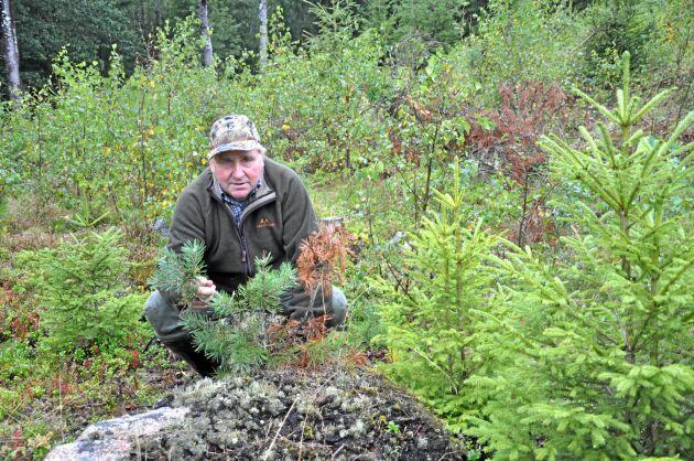 Han har mark som gränsar till godset Koberg, där finns det gott om dovhjort. På den här planteringen är 99 procent av tallarna betade av älg eller dovhjort, enligt Hans Karlsson.