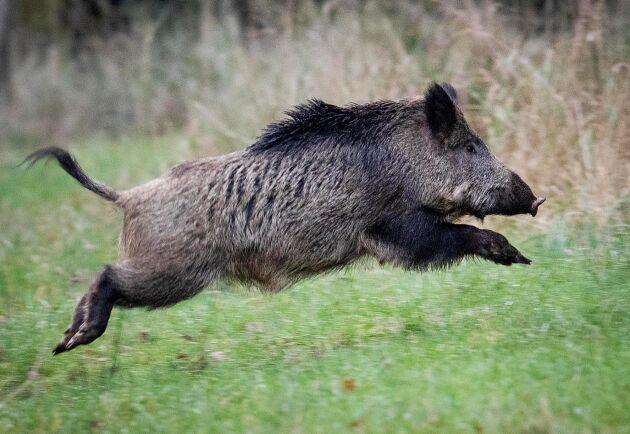 Regeringen och samarbetspartierna föreslår att jägare ska slippa kostnaden för de obligatoriska trikintesterna av vildsvinskött. Förhoppningen är att det ska öka jakten. Arkivbild.