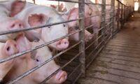 Massavlivning efter nytt fall av svinpest