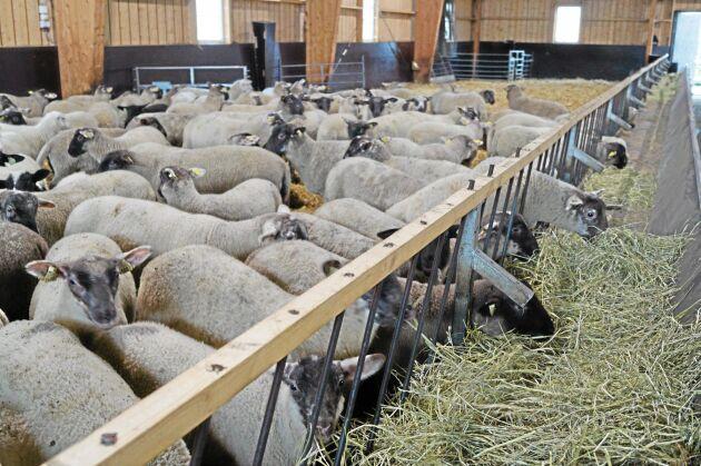 Nyss avvanda lamm låter sig väl smaka.