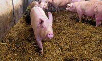 Misstänkta djurrättsaktivister tog sig in i grisstall