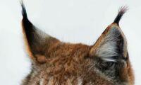 WWF kräver: Stoppa lodjursfällorna!