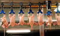 Kycklingar skållades levande – utredning läggs ner