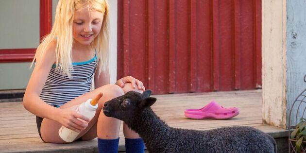 Familjen Rönnlund: Vi bytte mjölkkorna mot kameler