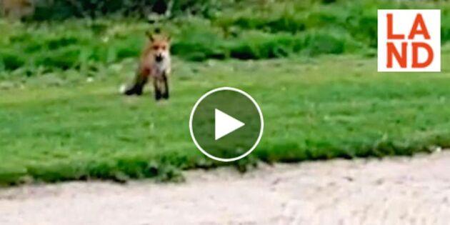 Räven raskar över greenen – men Mickel spelar efter egna regler