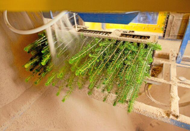 Sand sprutas på plantornas stammar under behandling med snytbaggeskyddet Conniflex vid Lugnets plantskola.