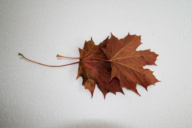 Början på kronan med två löv.
