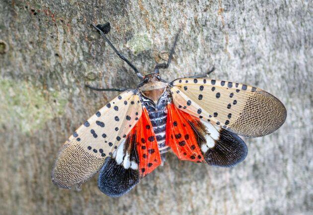 Insekten Lycorma delicatula sprider sig i östra USA. Dess engelska namn är spotted lanternfly.