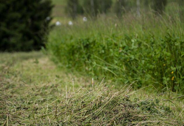 Proteinet från vallgräs kan användas till både foder och livsmedel.