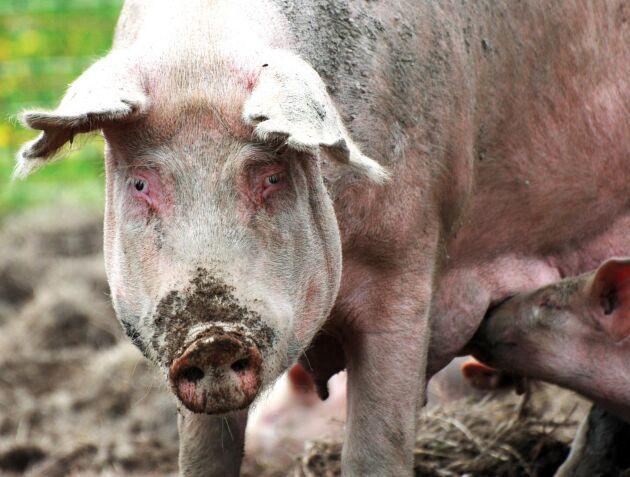 EU kan komma att stoppa planerat stöd till grisproducenter i Rumänien.